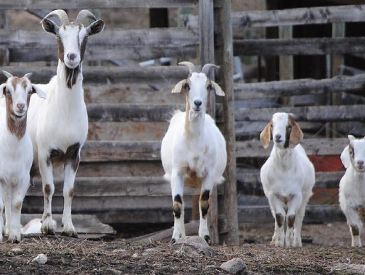 "Photo: ""Happy goat family"" (original photo). Photographer: ""bagsgroove."""