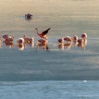 Sunrise with the Flamingos, Laguna, Bolivia. CYNTHIA L. BLACK PHOTO